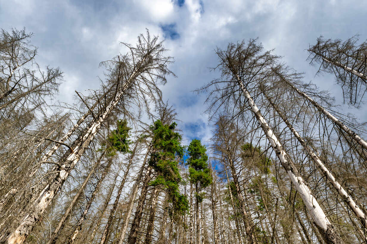 Dead spruce trees, Harz, Saxony-Anhalt, Germany - FRF00872 - Frank Röder/Westend61