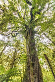 Low angle view of a tree, Roaring Billy Falls Walk, South Island, New Zealand - SMAF01628