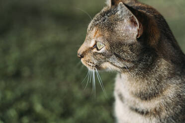 Portrait of tabby cat looking at distance outdoors - GEMF03278
