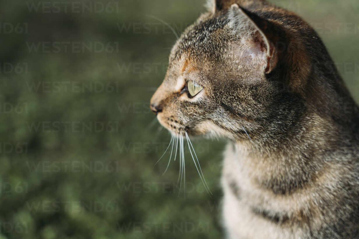 Portrait of tabby cat looking at distance outdoors - GEMF03278 - Gemma Ferrando/Westend61