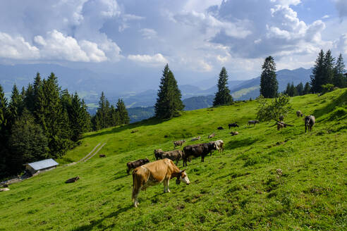 Germany, Bavaria, Sonthofen, Cattle grazing in Allgau Alps - LBF02775