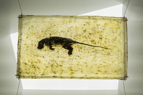 Germany, Hesse, Messel, Well preserved fossil ofMesselPit - RUN03408