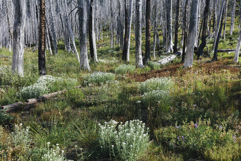 A previously burnt subalpine forest rebounds in summer with lodgepole pine and a variety of wildflowers, yarrow, aster, arnica and corn lily. - MINF12816