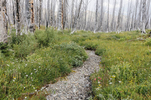 A previously burnt subalpine forest rebounds in summer with lodgepole pine and a variety of wildflowers, yarrow, aster, arnica and corn lily. - MINF12819