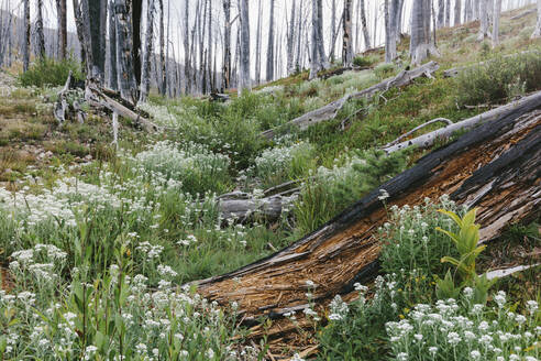 A previously burnt subalpine forest rebounds in summer with lodgepole pine and a variety of wildflowers, yarrow, aster, arnica and corn lily. - MINF12822