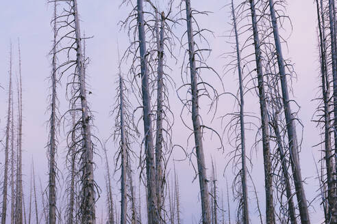 Burnt lodgepole pine forest from destructive five year old forest fire, dusk. - MINF12828