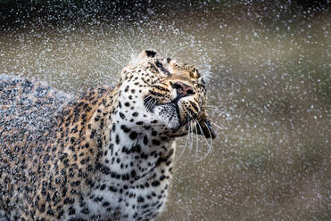 A leopard, Panthera pardus, shakes the water off itself, droplets of water in the air, eyes closed - MINF12852