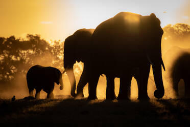 Silhouettes of African elephants, Loxodonta africana, against orange yellow background. - MINF12948