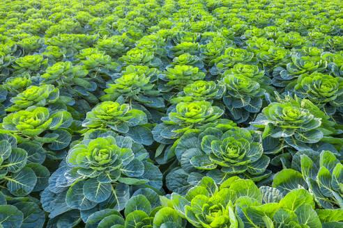 Scotland, East Lothian, field of Brussels Sprouts (Brassica oleracea) - SMAF01704