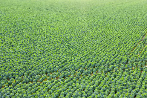 Scotland, East Lothian, field of Brussels Sprouts (Brassica oleracea) - SMAF01707