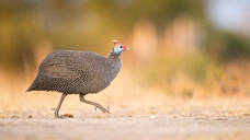 A helmeted guineafowl, Numida meleagris, walks across a road, side profile, looking out of frame, front leg raised - MINF12961