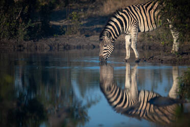 A Burchell's or plains zebra, Equus quagga burchellii, drinks from a waterhole, reflection in water, side profile - MINF13227