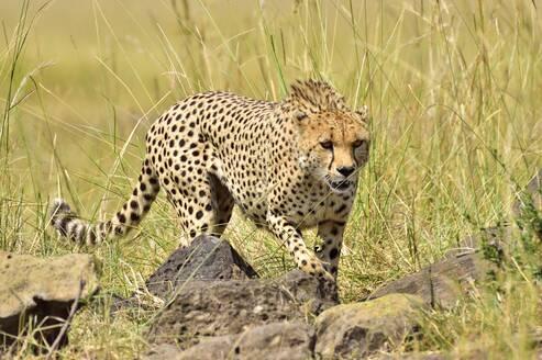 A cheetah stalks it's prey - CAVF68745