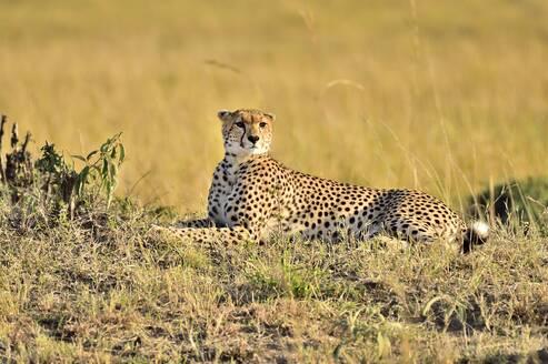 A cheetah lies down for a rest on the savannah - CAVF68754