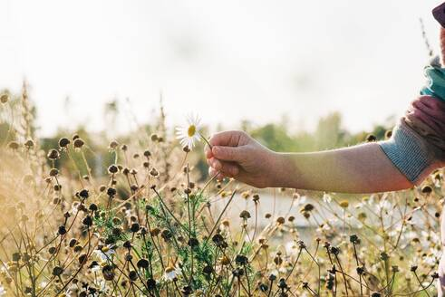 Girls hand picking a wild daisy in a meadow at sunset - CAVF68868