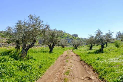 Masar Ibrahim trail passes through olive groves, Jenin, West Bank, Palestine - CAVF69131