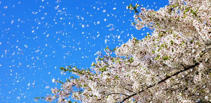 Spring wind, cherry blossoms - JTF01429