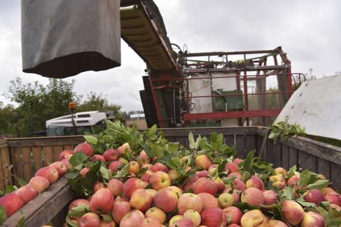 Apple harvesting on a plantation, harvester for automation - LYF00978