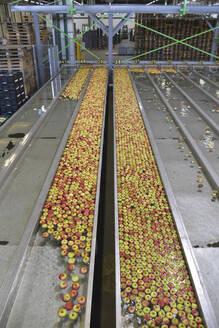 Conveyor belt with apples - LYF01005