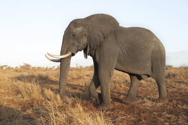 African elephant, Kruger National Park, South Africa - VEGF00876
