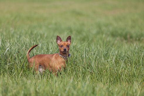 Red miniature pinscher looking at camera, standing on a meadow - XCF00296