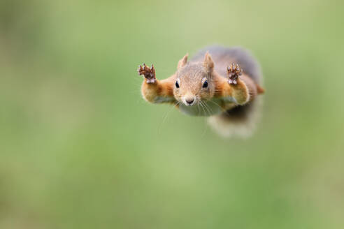 Red Squirrel jumping - MJOF01753