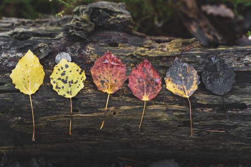 Row of various wet autumn leaves on dead wood - AFVF04407