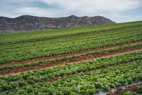 Lettuce field, Almeria, Spain - MPPF00378