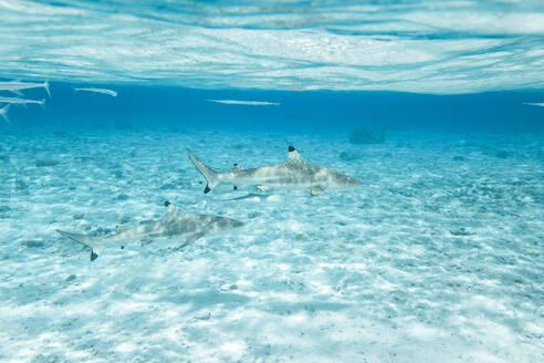 Blacktip reef sharks swimming in sea - CAVF70697