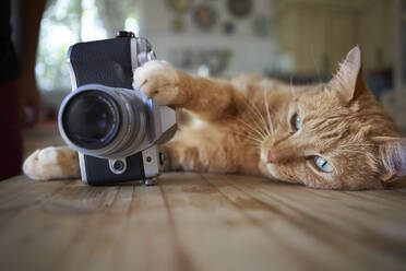 Ginger cat lying on kitche table, holding camera - VEGF01222