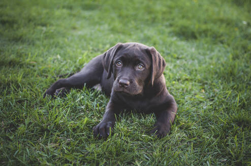 High angle portrait of puppy sitting on grassy field - CAVF70830