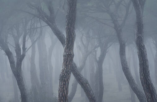 Spain, Valladolid, Bare trees in foggy pine forest - DVGF00077