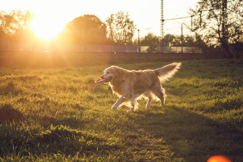 Germany, Bavaria, Munich, Golden Retriever playing with plastic disk in meadow at sunset - MAMF00961