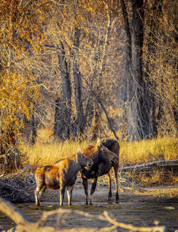 Moose mother and calf drink outside Yellowstone Park - CAVF71831