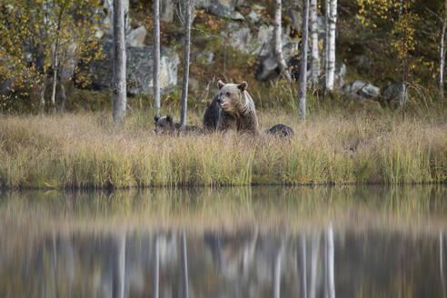 Finland, Kuhmo, Brown bear(Ursusarctos)familyatborealforestlakeshorein autumn - ZCF00852