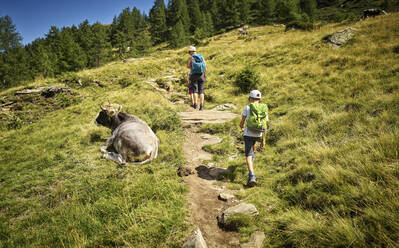 Mother with two children hiking in alpine scenery passing a cow, Passeier Valley, South Tyrol, Italy - DIKF00323