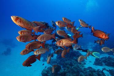 Palau, School of Big Eye fish in German Channel - GNF01517