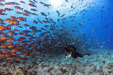 Palau, Shark City, Dover with red snapper spawning - GNF01520