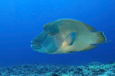 Palau, Blue Corner, Humphead wrasse (Cheilinus undulatus) underwater - GNF01529