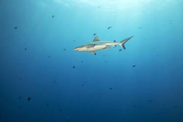Palau, Blue Corner, Grey reef shark (Carcharhinus amblyrhynchos) swimming in sea - GNF01532