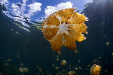 Palau, Eil Malk island, Jellyfish in Jellyfish Lake - GNF01538