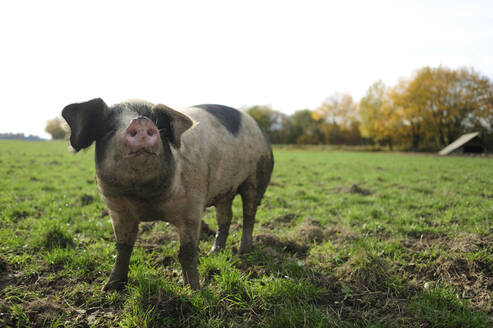 Pig standing on meadow - ECPF00806