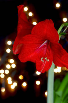 Germany, Red blooming amaryllis flower - JTF01441