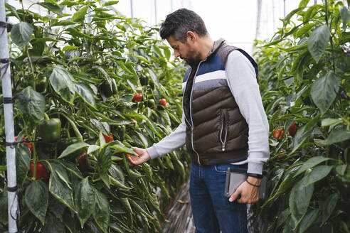 Man checking bell peppers plants in a greenhouse, Almeria, Spain - MPPF00418