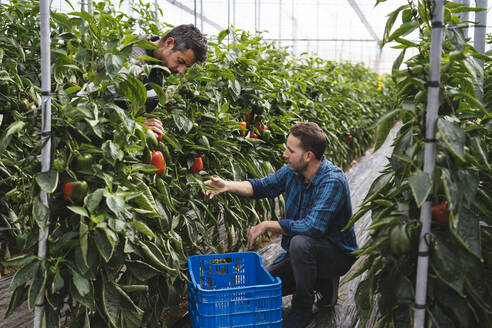 Men harvesting bell peppers in a greenhouse, Almeria, Spain - MPPF00421