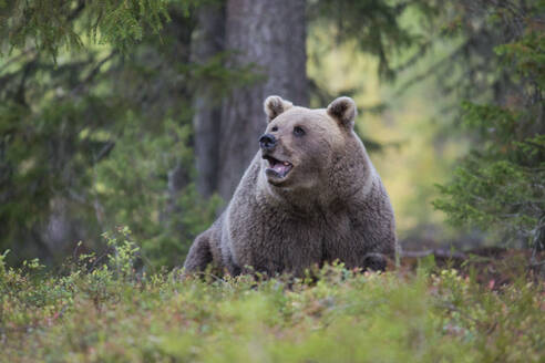 Brown bear in autumnal forest, Kuhmo, Finland - ZCF00856