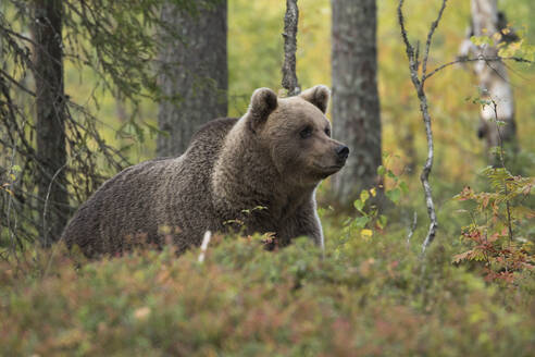 Brown bear in autumnal forest, Kuhmo, Finland - ZCF00859