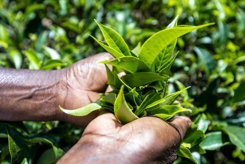 Sri Lanka, Uva Province, Haputale, Close-up of hands picking tea leaves - EGBF00520