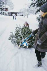 Woman transporting fir tree on sledge to the compost after Christmas, Jochberg, Austria - PSIF00347