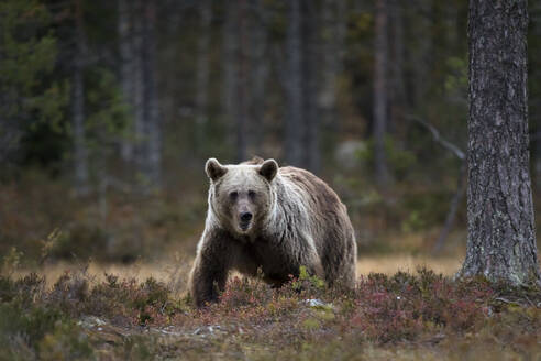 Finland, Kuhmo, Brown bear (Ursus arctos) standing in autumn taiga - ZCF00875